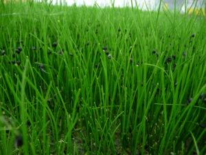 018-micro-garlic-chives