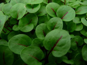 024-micro-red-vein-sorrel