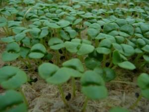 007 Micro Green Basil